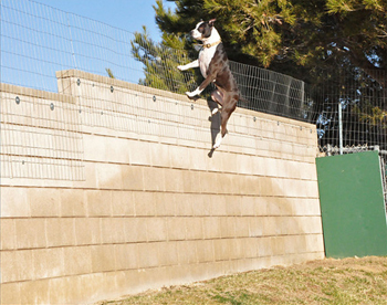 Most pit bulls can easily jump a 6-8 foot fence